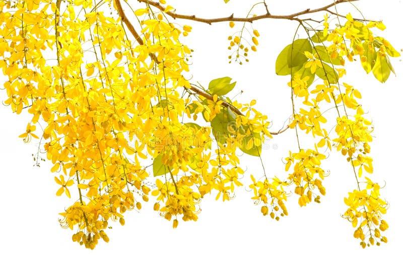 Cassia fistula dorato della doccia, bello fiore nell'ora legale fotografia stock