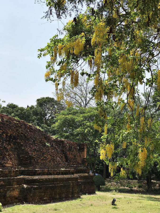 Cassia fistula or Golden rain tree or Canafistula or Golden shower tree or Ratchaphruek flowers. stock photo