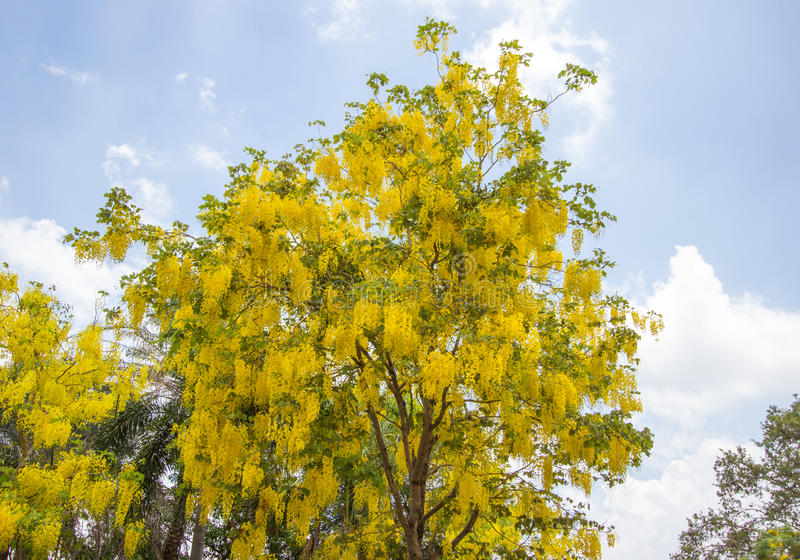 Cassia Fistula Golden Shower tree in bloom,with blue sky background. Cassia fistula,known as the golden rain tree,canafistula and by other names, is a flowering royalty free stock photography
