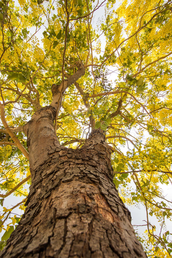 Cassia Fistula Golden Shower tree in bloom,with blue sky background. Cassia fistula,known as the golden rain tree,canafistula and by other names, is a flowering royalty free stock image