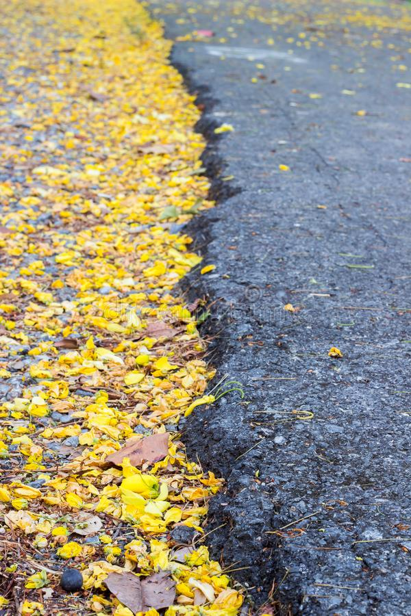 Fallen bright yellow petals of Cassia fistula flowersGolden Shower tree on the ground, in contrast with black Asphalt road sele. Cassia fistula,known as the stock image