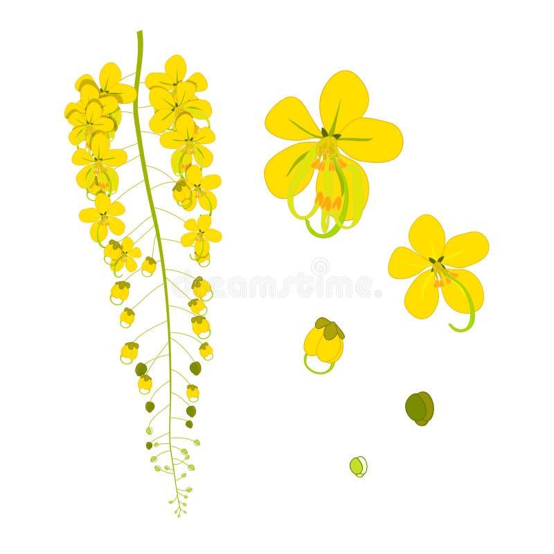 Cassia Fistula Shower vector illustration