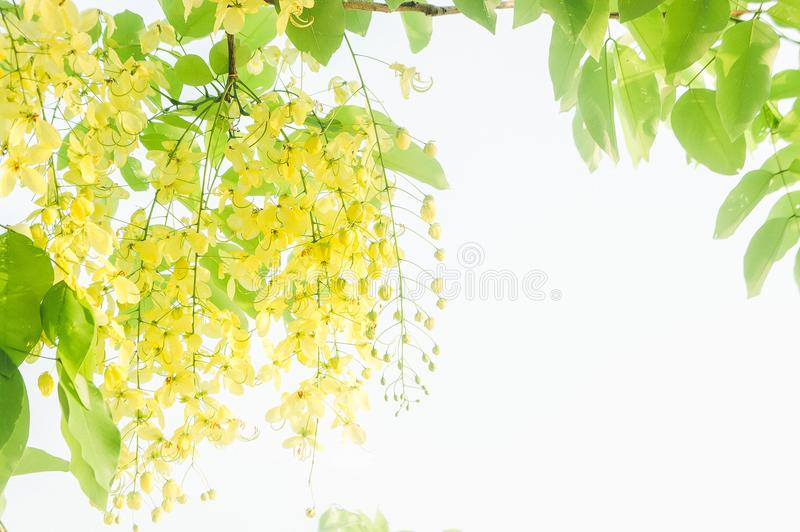 Cassia fistula yellow flowers daisy summer with filter vintage s stock photos