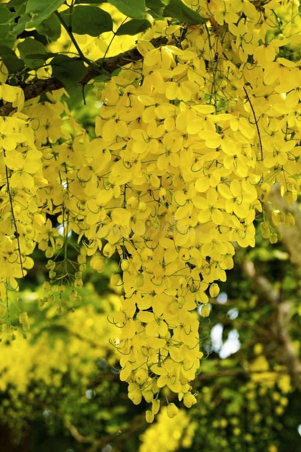 Cassia Flower fotografia stock libera da diritti