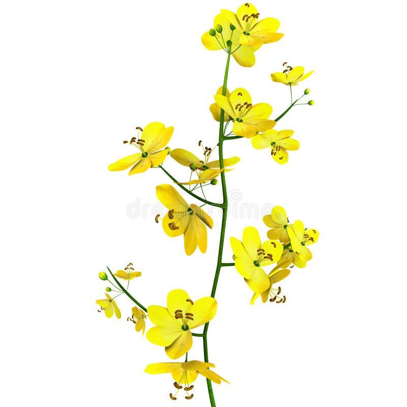 Cassia (genus) vector illustration