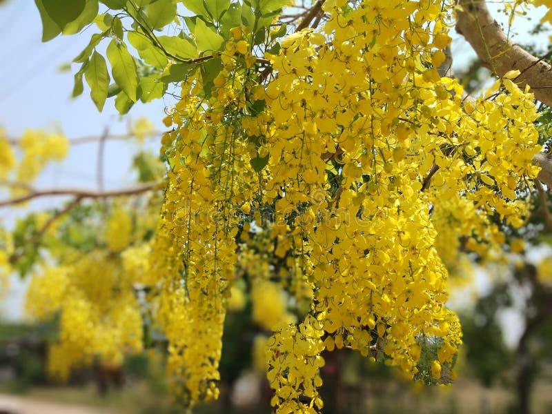 Cassiafisteln, härlig guling, kan användas som en bakgrundsbild arkivfoton
