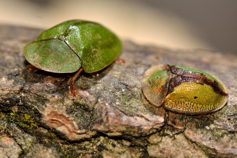 Cassida viridis i Cassida vibex tortoise ścigi obraz royalty free
