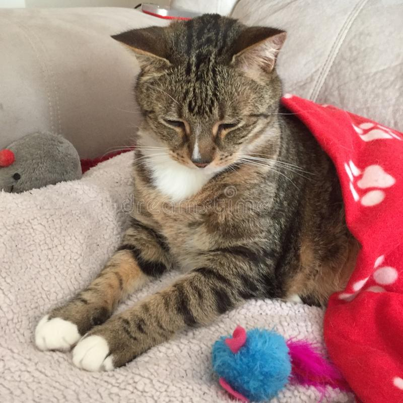 Tabby cat looks festive in red. Cassidy the diabetic cat looks very festive and dapper in his red paw stock photo
