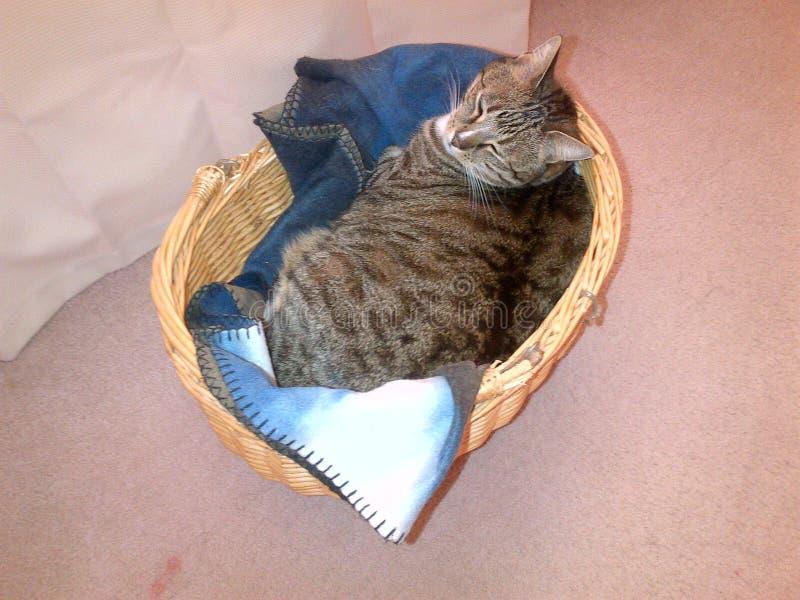Cassidy el gato de gato atigrado diabético foto de archivo libre de regalías