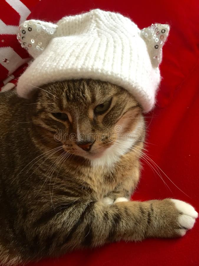 Cassidy Tabby Cat lizenzfreies stockbild