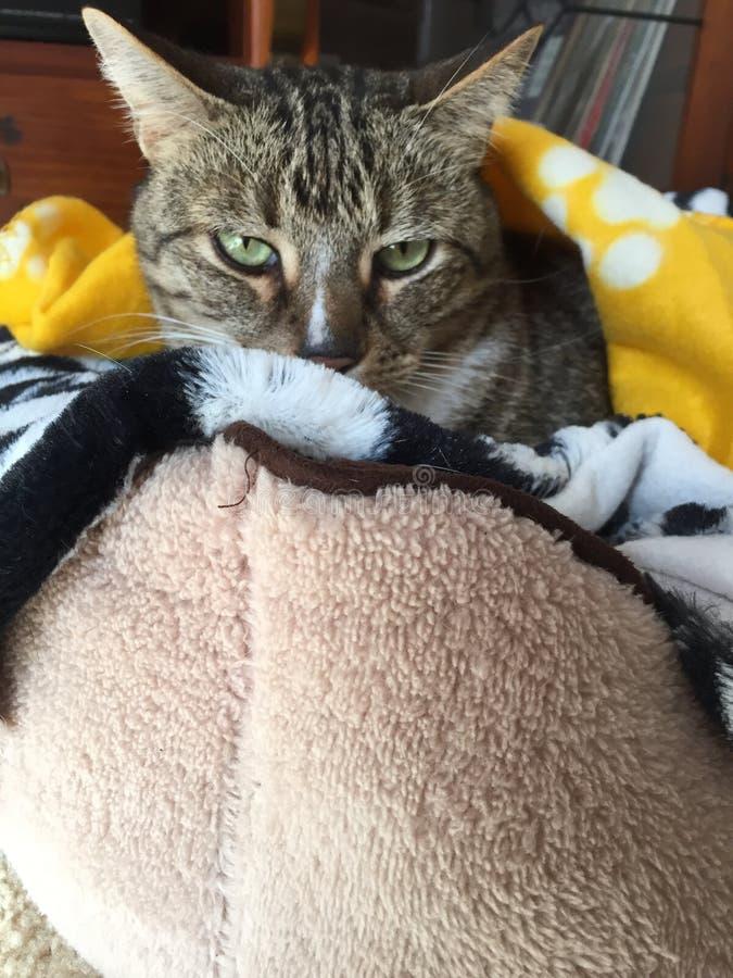 Cassidy Tabby Cat imágenes de archivo libres de regalías