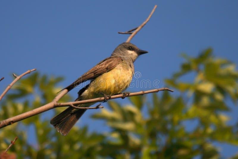 cassin s kingbird fotografia royalty free