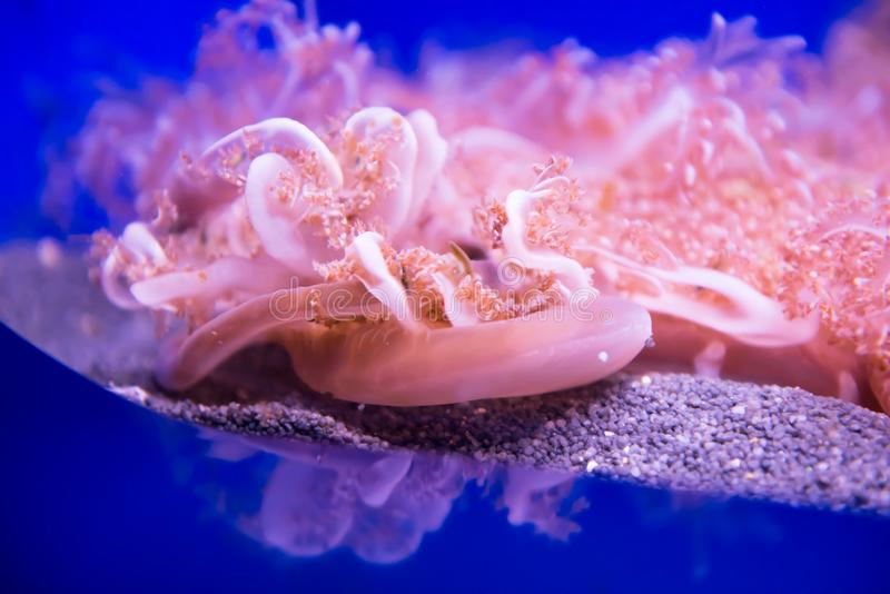 Cassiopea or upside down jellyfish royalty free stock photo