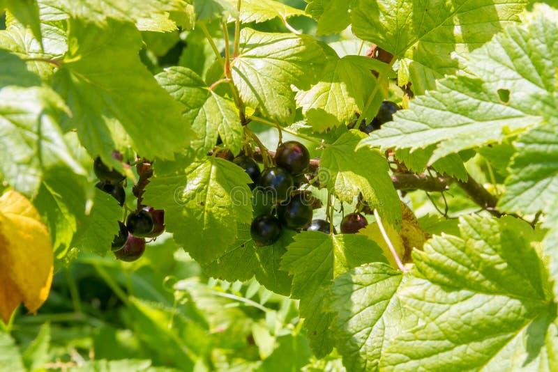Cassis dans le jardin ensoleillé d'été photographie stock libre de droits