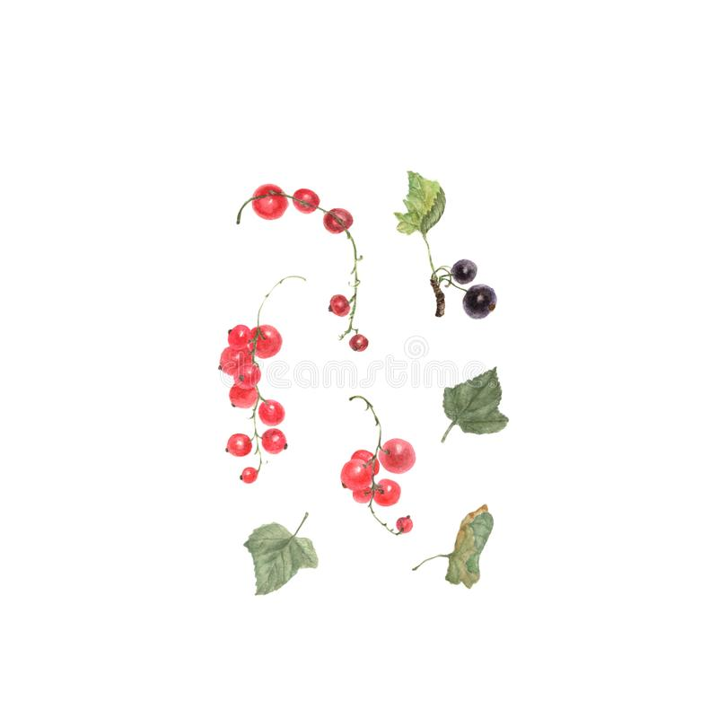 Cassis rouge et Peinture tirée par la main d'aquarelle sur le fond blanc illustration libre de droits