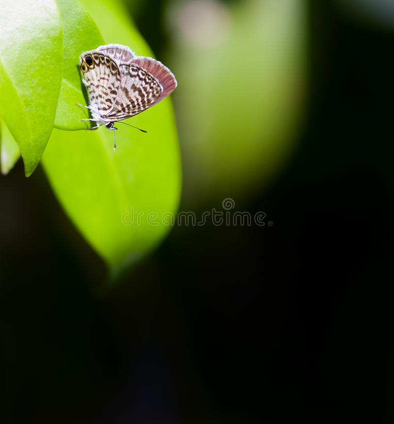Cassius Blue. (Leptotes cassius) sunning on a leaf royalty free stock photos