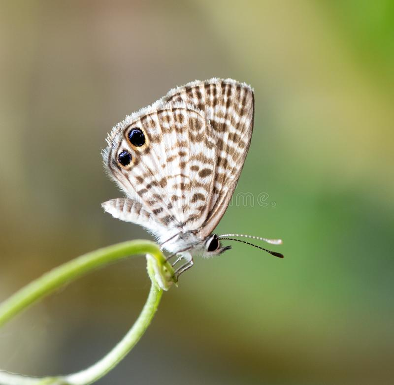 Cassius Blue Butterfly. With brown spotted and striped white wings and two prominent black eyespots is resting on a circular green vine against a blurred stock photo