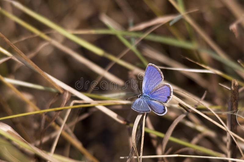 Cassius Blue butterfly, Florida. Perched on grass royalty free stock photography