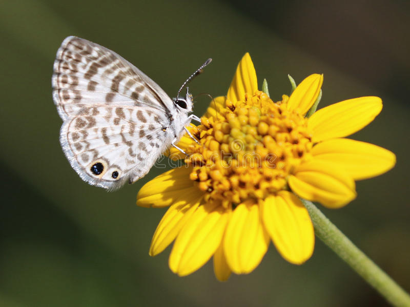 Cassius Blue Butterfly. On a yellow flower stock images