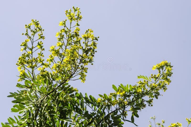 Cassod-Baum, thailändische kupferne Hülse (Kassie siamea (Flucht ) Irwin u. Barneb stockbild