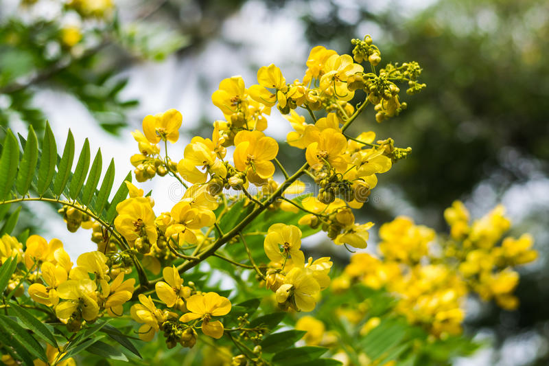 Cassod tree, cassia siamea or siamese senna stock images