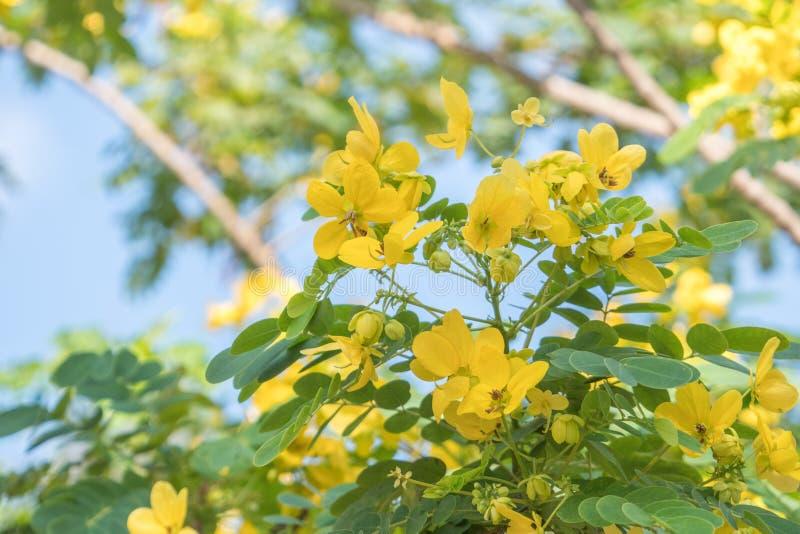 Cassodboom; Kassieboomsiamea met bloem vage achtergrond royalty-vrije stock foto's