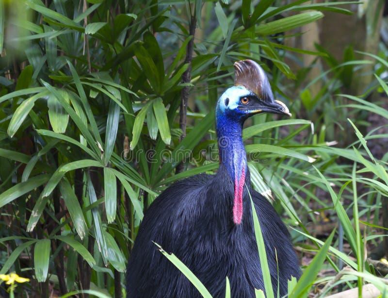 Cassowary. Cassowaries are one of the largest modern birds. In New Guinea cassowaries inhabit tropical rainforests. The cassowary has a `helmet` on the head stock photos