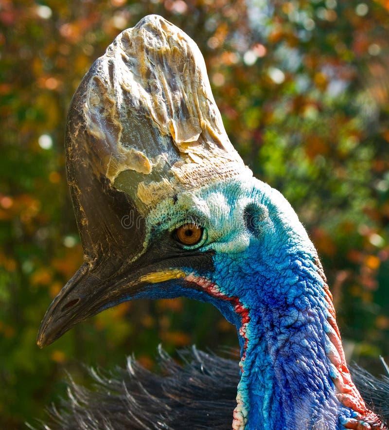 Cassowary. Big australian bird cassowary portrait stock photos