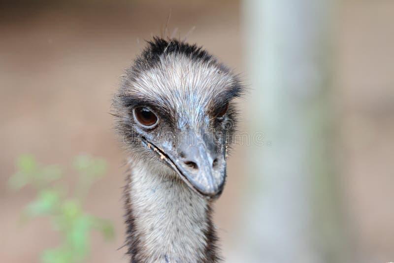 Cassowary. The cassowary is native Australian non flying bird, like osterich stock images