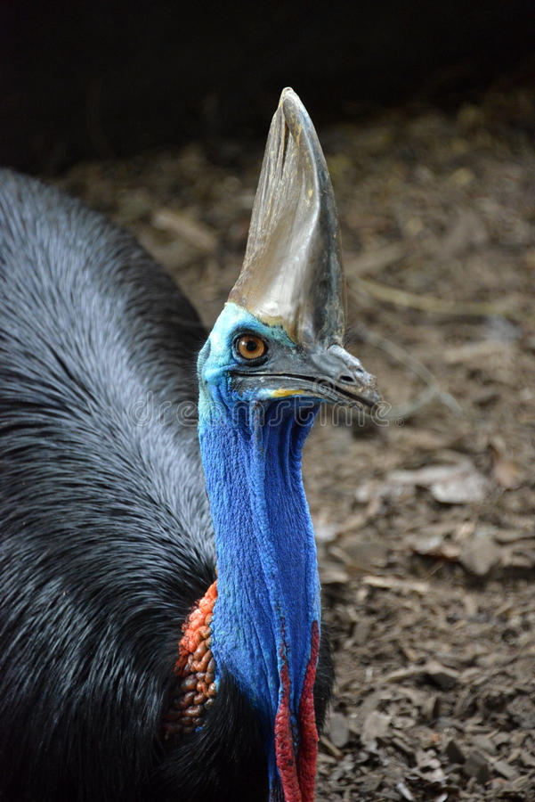 Cassowary. Beady eyed colorful cassowary in the rainforest royalty free stock image