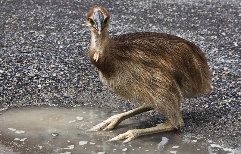 Cassowary chick. In a puddle of water stock photo
