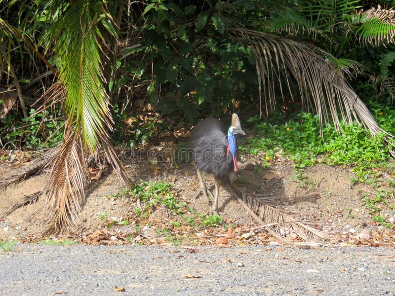 Cassowary with chick. A wild male cassowary walking out of the rainforest with his chick trailing behind stock photo