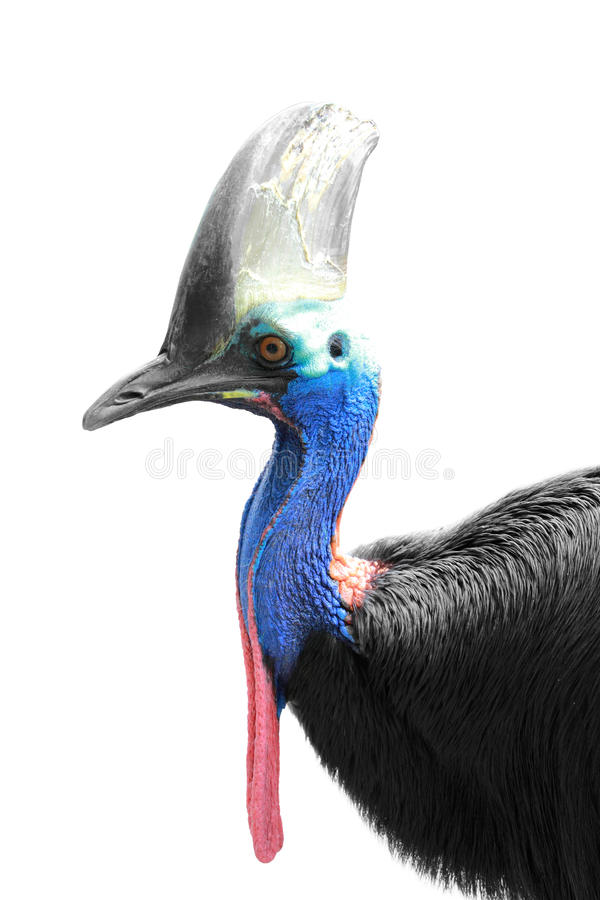 Cassowary isolated in white background, focused on head. A portrait of a Cassowary isolated in white background, focused on head royalty free stock images