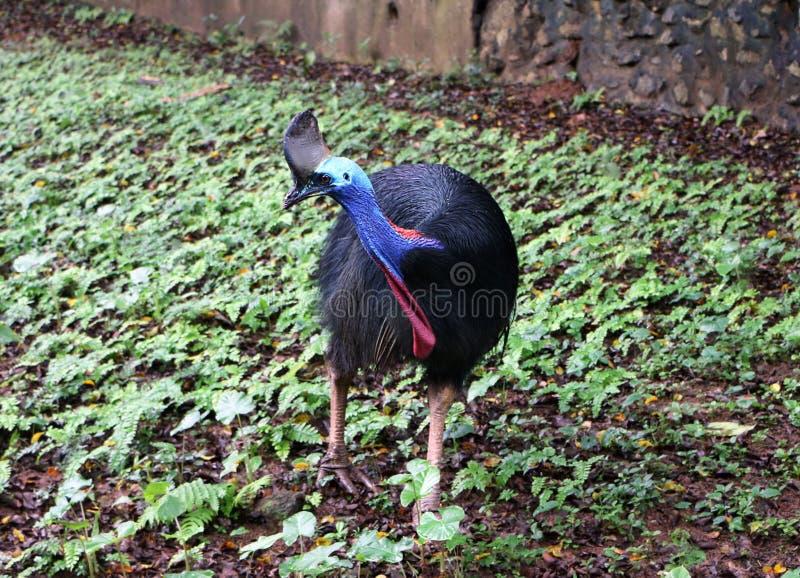 Cassowary ptak zdjęcie stock