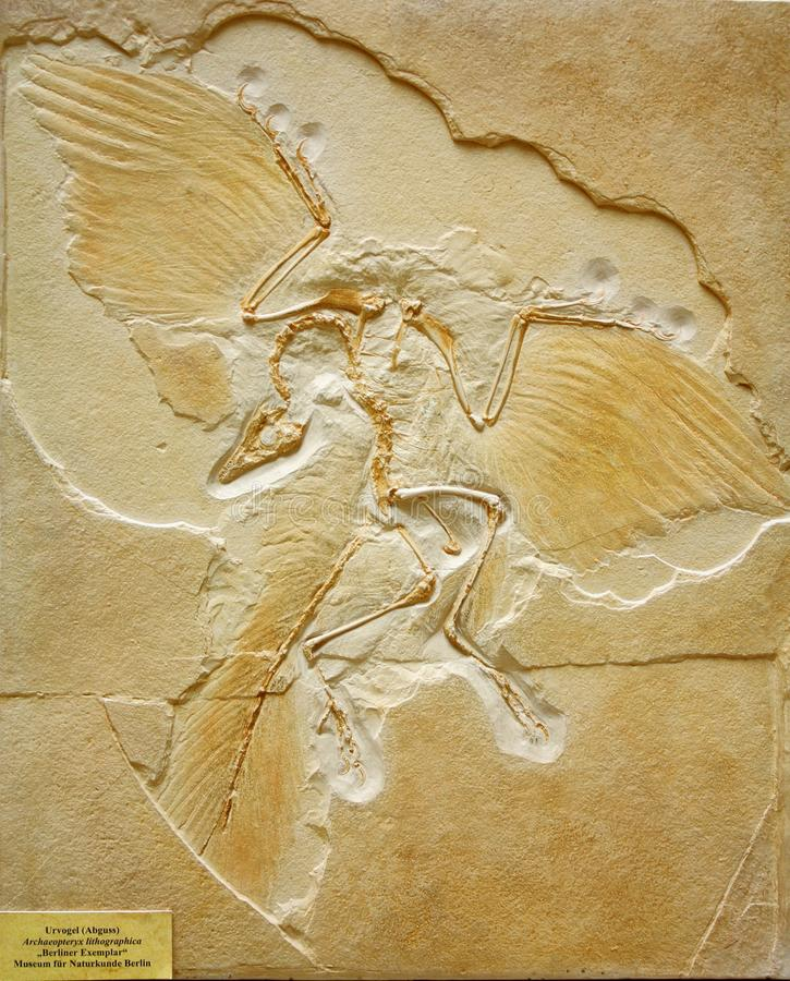 Earliest Fossil of Archaeopteryx found in Germany. Cast of the Berlin Archaeopteryx specimen A. siemensii, found in 1874 or 1875 near Eichstaett, Bavaria, one of royalty free stock image
