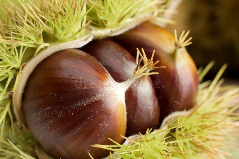 Download Castaña foto de archivo. Imagen de shell, otoño, marrón - 1288354