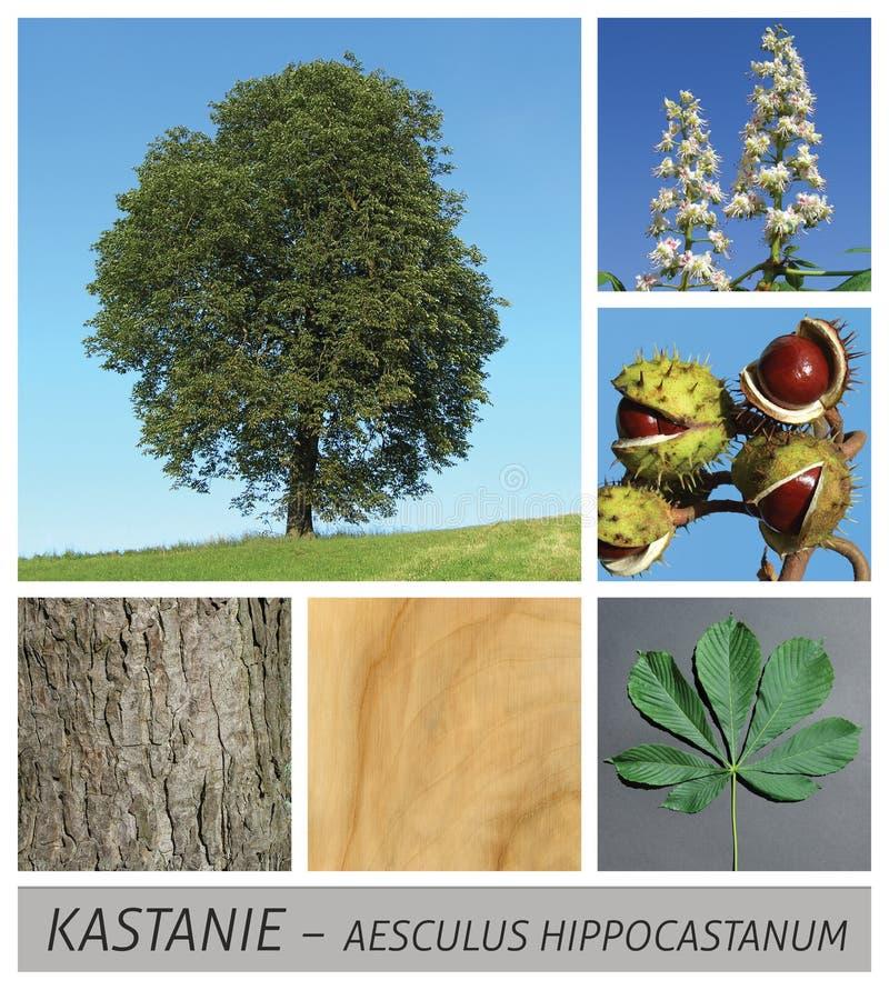 Castaña, campo común, castaña de caballo, aesculus, hippocastanum, árbol fotografía de archivo