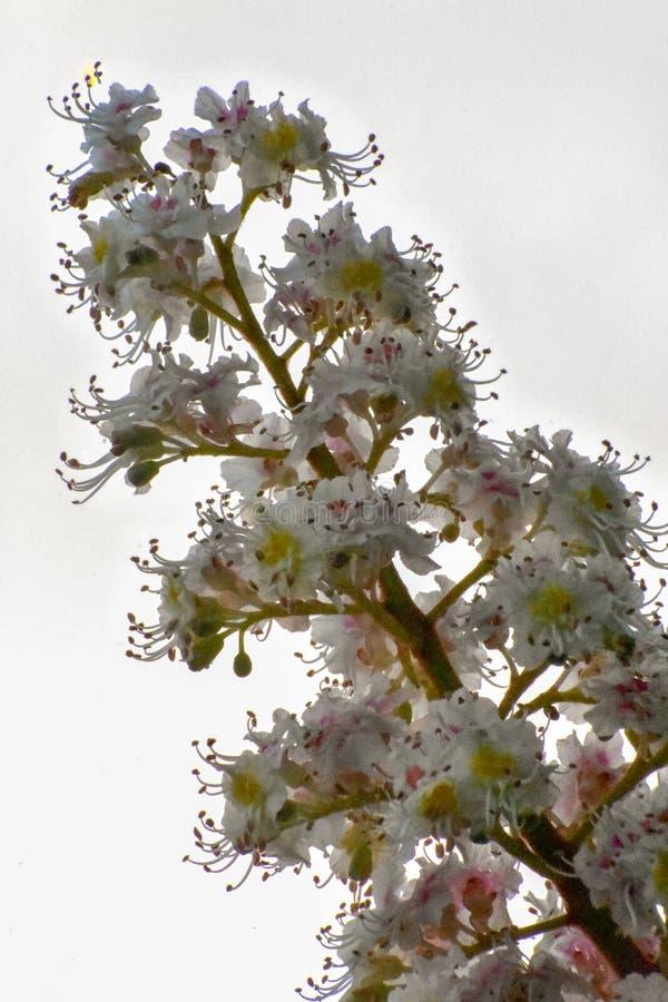 Castaña de caballo floreciente foto de archivo