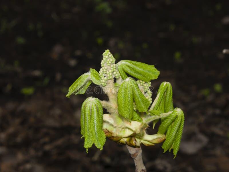 Castaña de Indias f, hippocastanum del aesculus, brote de flor y hojas de los jóvenes en rama con macro del fondo del bokeh fotos de archivo libres de regalías