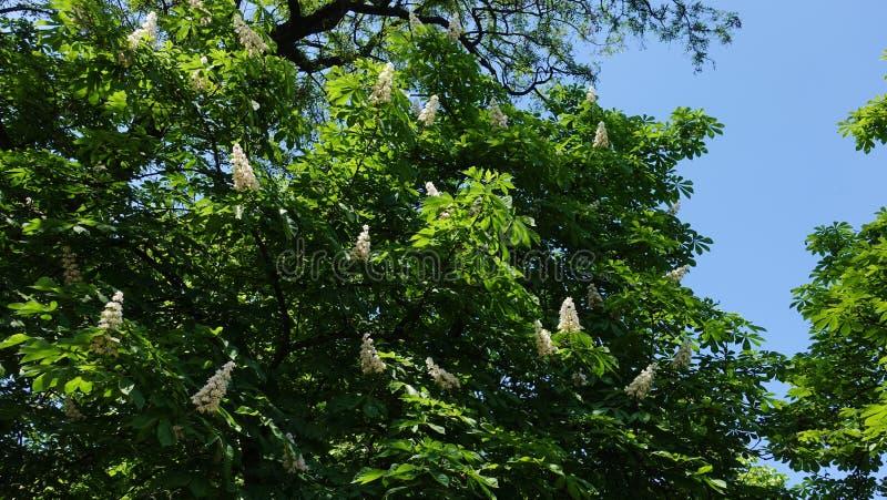Castaña de la primavera con las flores fotos de archivo