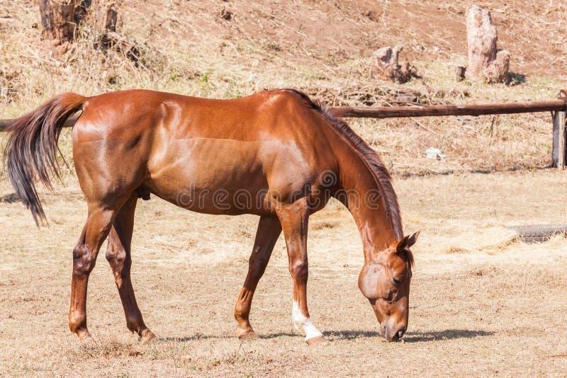 Castaña del animal del caballo foto de archivo