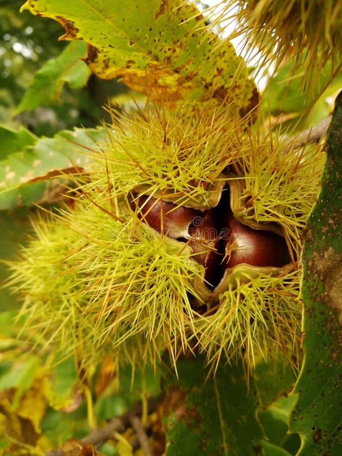 Castaña en otoño fotografía de archivo