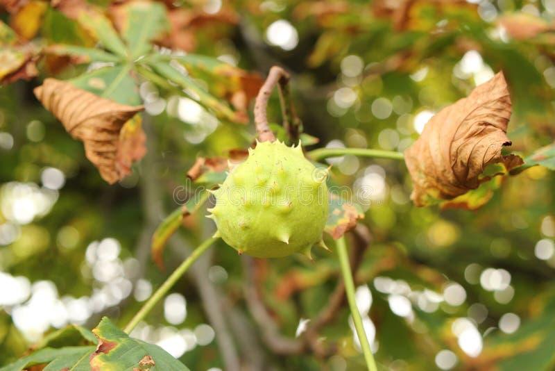 Castaña en rama en otoño imagen de archivo