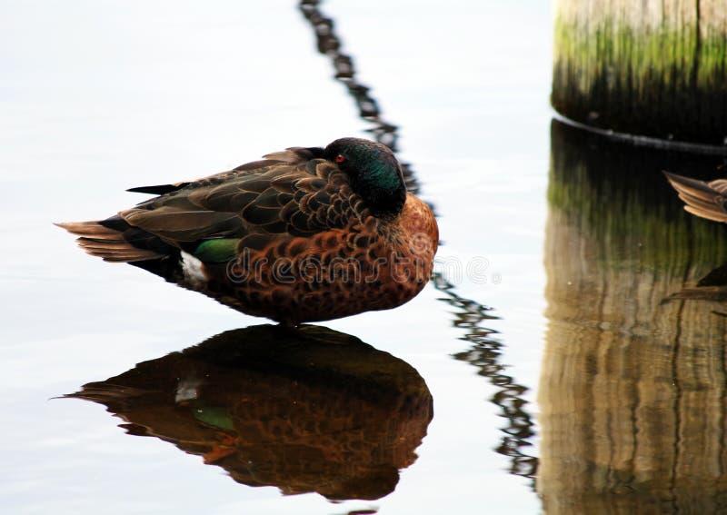 Castaña masculina Teal Duck foto de archivo