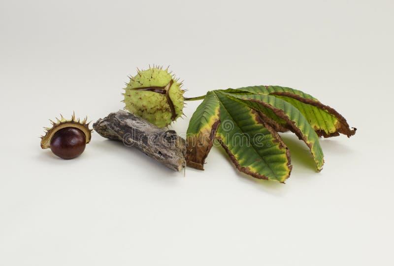 Castañas de Indias f en cáscara, con las hojas imagen de archivo libre de regalías