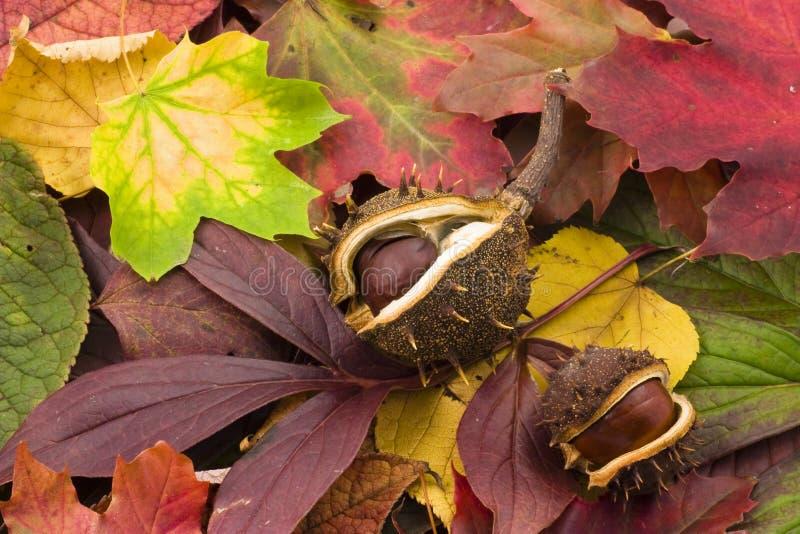 Castañas del otoño fotografía de archivo libre de regalías