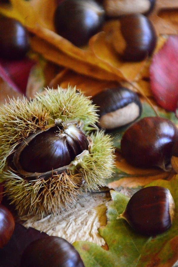 Castañas dulces en las hojas de otoño multicoloras foto de archivo libre de regalías