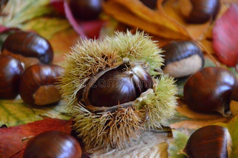 Castañas dulces en las hojas de otoño multicoloras imágenes de archivo libres de regalías
