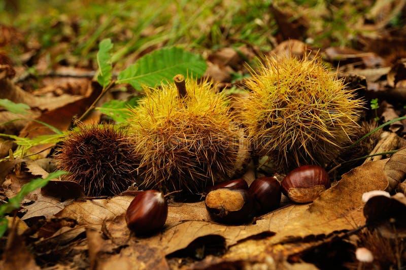 castañas en un bosque en Toscana, Italia Temporada de otoño foto de archivo