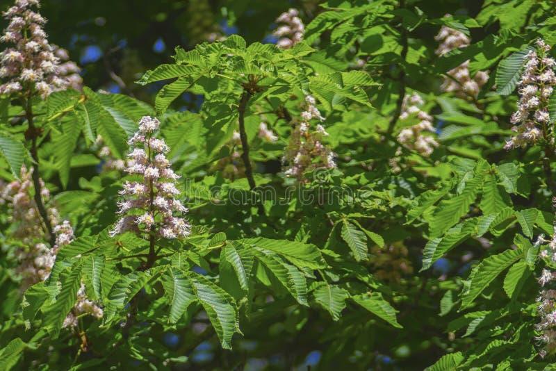 Castañas florecientes hermosas en comienzo del verano imagen de archivo